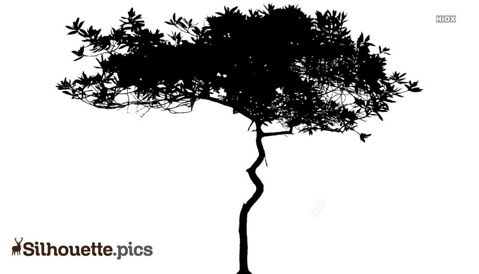 Acacia Tree Silhouette: Acacia Mangium Tree Picture