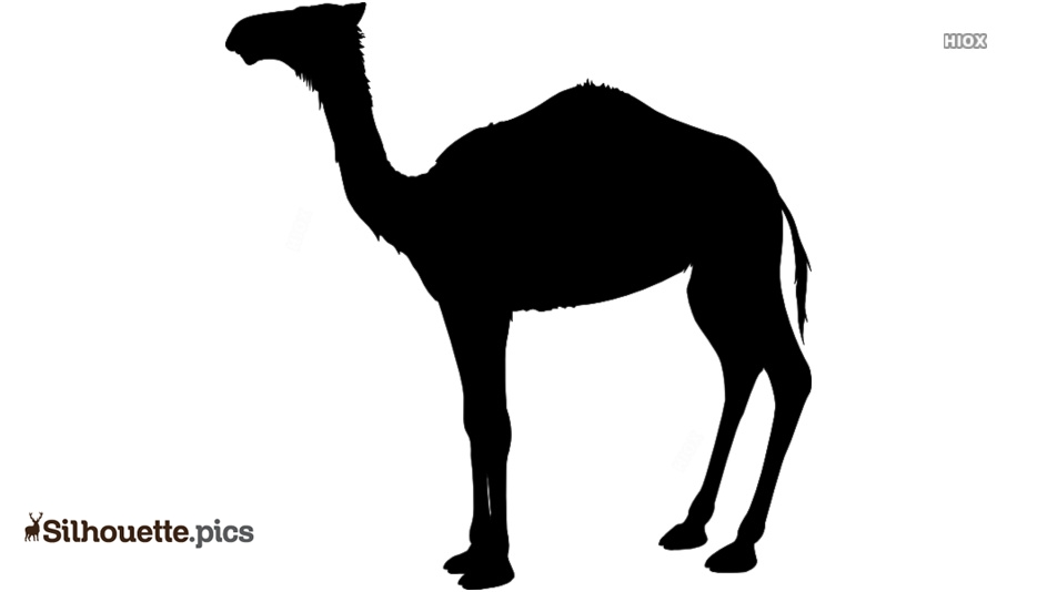 Black And White Camel Walking Silhouette Pic