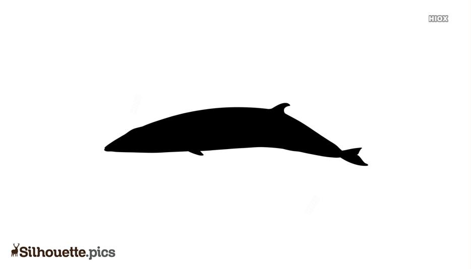 Minke Whale Silhouette Picture